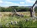 NT9600 : Dead trees beside the road at Holystone Grange by Oliver Dixon