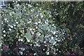TF0820 : Snowberry by Bob Harvey