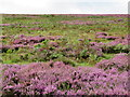 NT6360 : The blooming Heather by M J Richardson