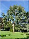 SE3238 : Tree in Roundhay Park by Stephen Craven