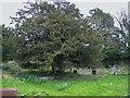 SN1415 : Yew tree in Llanddewi Velfrey churchyard by Humphrey Bolton