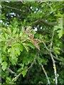 TF0820 : Hawthorn in hedgerow - 40 by Bob Harvey