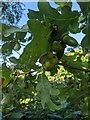TF0820 : Oak Cherry Galls by Bob Harvey