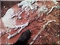 NO7664 : Milton Ness Rhizolith by Uamhair