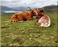 NS4291 : Highland cattle with cross bred calf by Jim Smillie