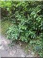 TF0820 : Quercus cerris by Bob Harvey