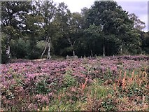 SJ8381 : Heather in flower, Lindow Common by Philip Cornwall