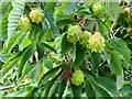 SO7934 : Horse chestnut pods by Philip Halling