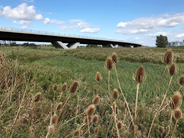 Teasels near the Ely southern bypass