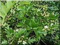 TF0820 : Hawthorn in hedgerow - 42 by Bob Harvey