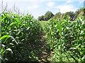SY6587 : Bridleway through cornfield near Dorchester by Malc McDonald