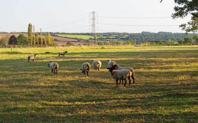 Sheep in field, near Bob's Barn, Stapleford Tawney