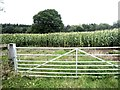 SO4329 : Field of maize at Gwern-genny Farm by Oliver Dixon