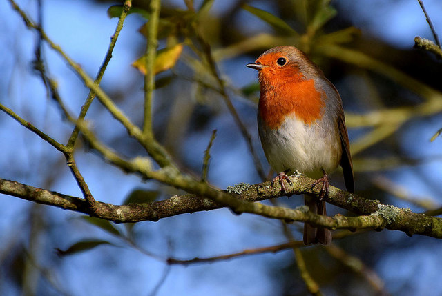 Robin, Mullaghmore