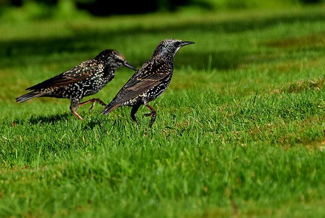Racing starlings, Campsie