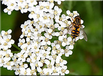 H5572 : Hoverfly, Mullaslin by Kenneth  Allen