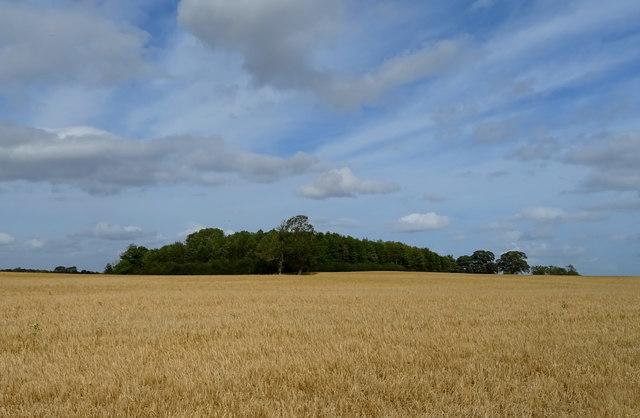 Cereal crop towards Juniper Plantation