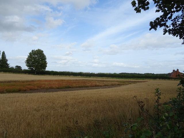 Cereal crop near Ripon