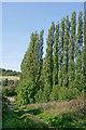 SO9192 : Poplar trees near Cotwall End in Sedgley, Dudley by Roger  Kidd