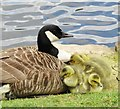 TQ4124 : Sheffield Park - Canada Goose by Colin Smith