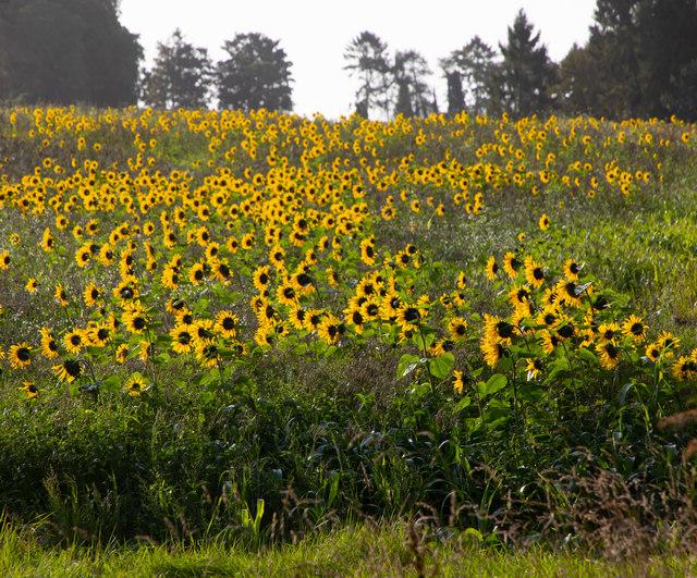 Sun flowers in field by Mare Lane