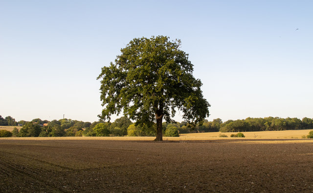 Tree in tilled field, Navestock Side