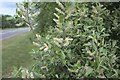 TF0819 : Pussy Willow catkins by Bob Harvey