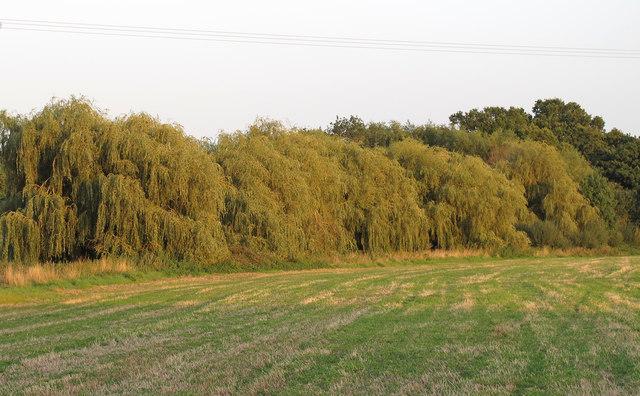 Group of willows near Cow Farm, Kelvedon Hatch