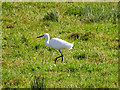 SP1401 : Little egret near the River Coln, Fairford by Brian Robert Marshall