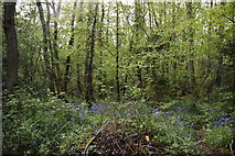 TQ5842 : Bluebells, Broke's Wood by N Chadwick