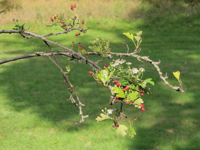 Glastonbury Thorn at Kew Gardens