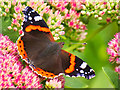 SD4314 : Red Admiral at Martin Mere by David Dixon