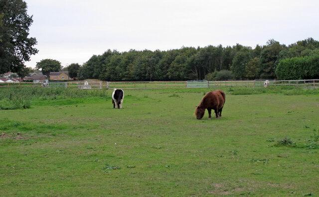 Ponies in field near Furze Wood, Kelvedon Hatch