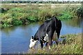 SJ9124 : Drinking the River Sow on Doxey Marshes by Stephen McKay