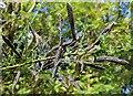 NO3311 : Acacia seed pods by Bill Kasman