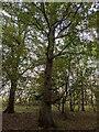 TF0821 : Autumnal Oaks by Bob Harvey