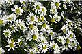 NX0986 : Sea Mayweed (Tripleurospermum maritimum) by Anne Burgess