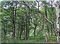 NZ0955 : Mature trees in Park Wood by Robert Graham
