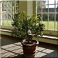 ST2885 : An Orange tree, Tredegar House Gardens by Robin Drayton