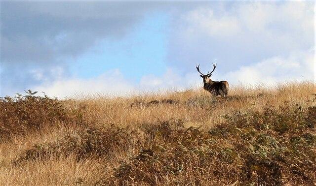 Deer on the moor