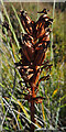 NJ3265 : Orchid Seedhead by Anne Burgess