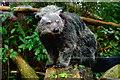 TL5546 : Binturong (Arctictis binturong) at Linton Zoo by Tiger