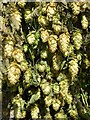 SO7251 : Hops hung on the church porch by Philip Halling