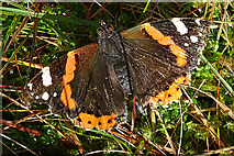 NJ4358 : Red Admiral Butterfly (Vanessa atalanta) by Anne Burgess