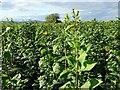 SO8739 : A crop of Jerusalem artichoke by Philip Halling