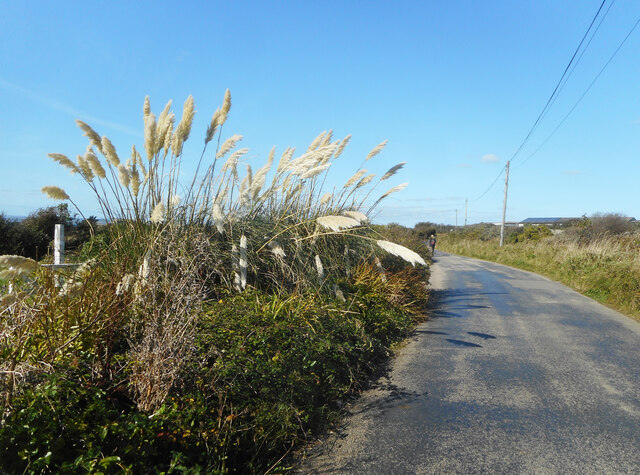 Pampas Grass, Isle of Wight