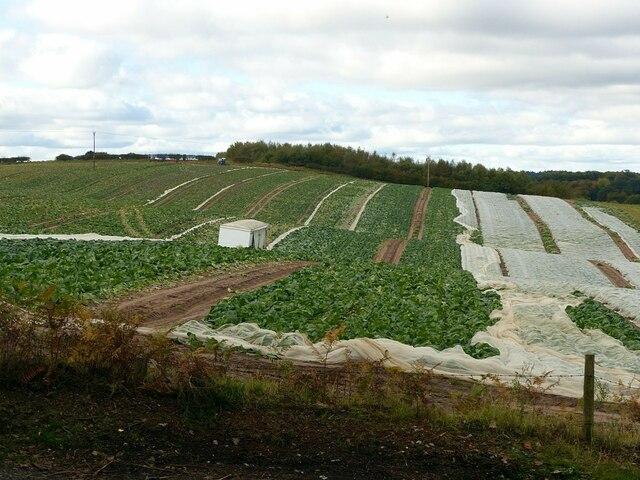 Cabbage crop near Blidworth