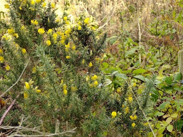 When the gorse is out of bloom, kissing's out of fashion