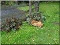 SO8594 : Trysull Mushrooms by Gordon Griffiths