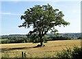 NZ0853 : Lone field tree by Robert Graham